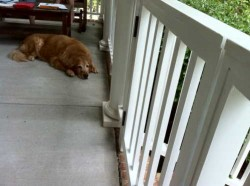 Dog on porch with gates closed